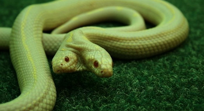 Двуглавая змея