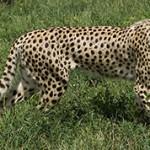Самые интересные факты о гепардах