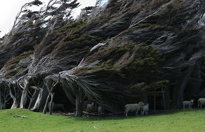 «Гнутые» деревья Новой Зеландии