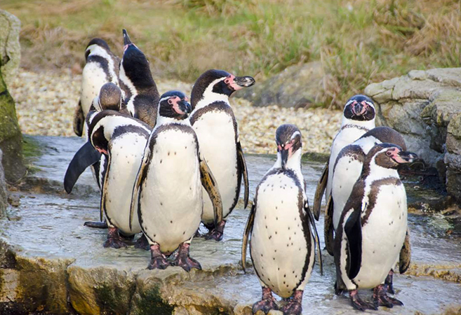 Группа пингвинов