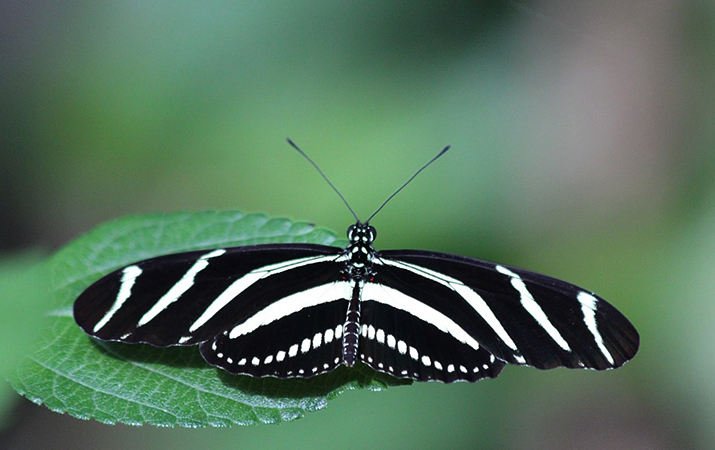 Зебровая бабочка – парусник (Геликонида Харитония)