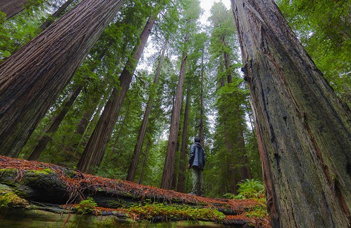 Калифорнийские гигантские секвойи