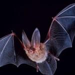 Интересные и удивительные факты о летучих мышах
