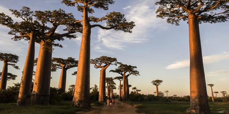 Мадагаскарские баобабы