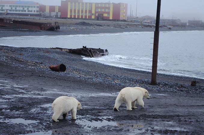 Белые медведи на Новой Земле