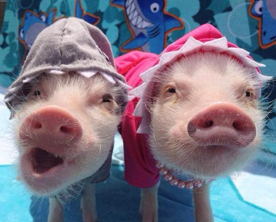 Милые свинята