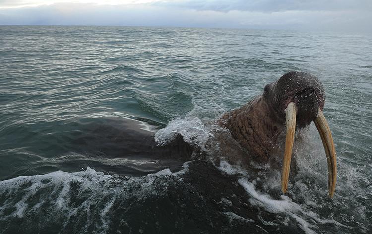 Морж в Чукотском море