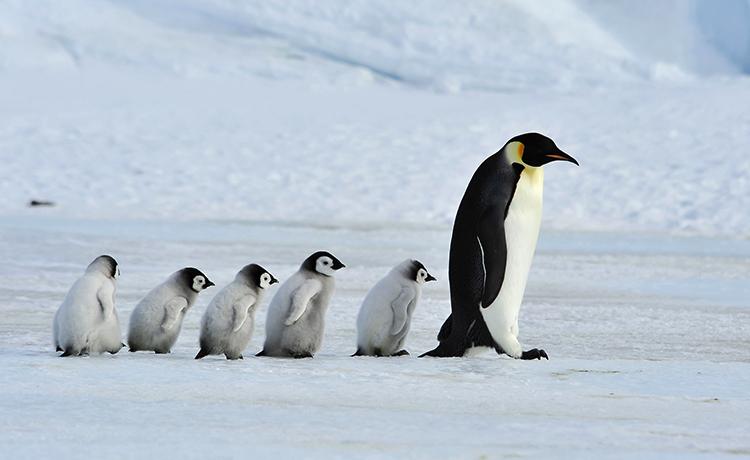 Пингвины идут