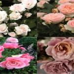 Самые красивые в мире сорта роз
