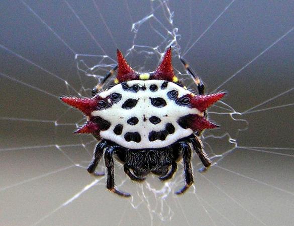 Шипастый паук