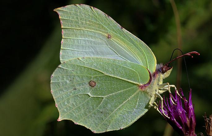 Бабочка лимонница сидит на цветке