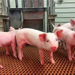 Подборка интересных фактов про свиней