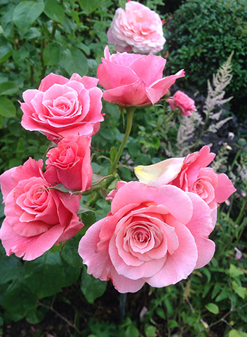 Тиклед Пинк (Tickled pink)