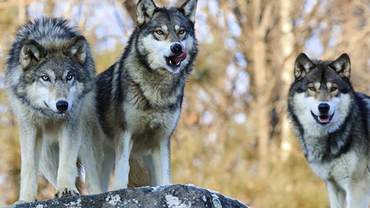 3 волка
