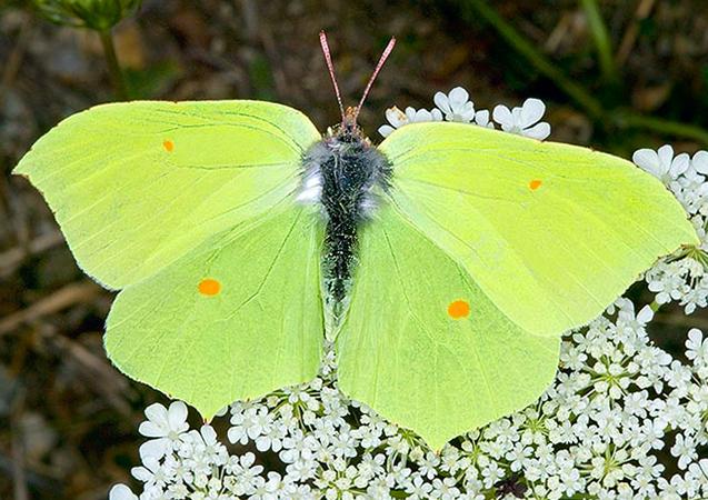 Внешний вид бабочки