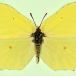 Бабочка лимонница — интересные факты