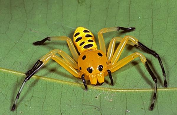 Восьмиточечный паук-краб