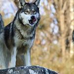 Интересные данные и факты о волках