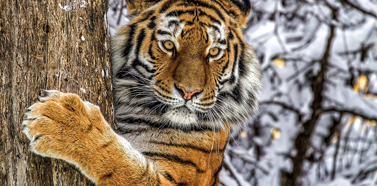 Амурский тигр на охоте