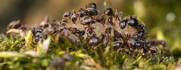 Много муравьев