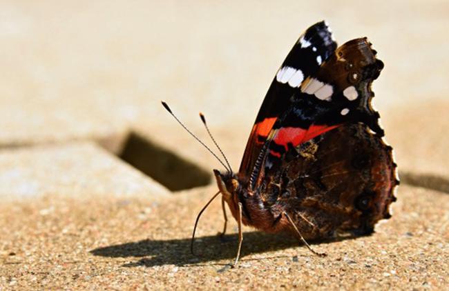 Бабочка Адмирал сидит