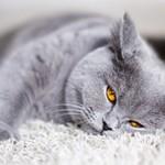 Самые интересные факты о британских кошках