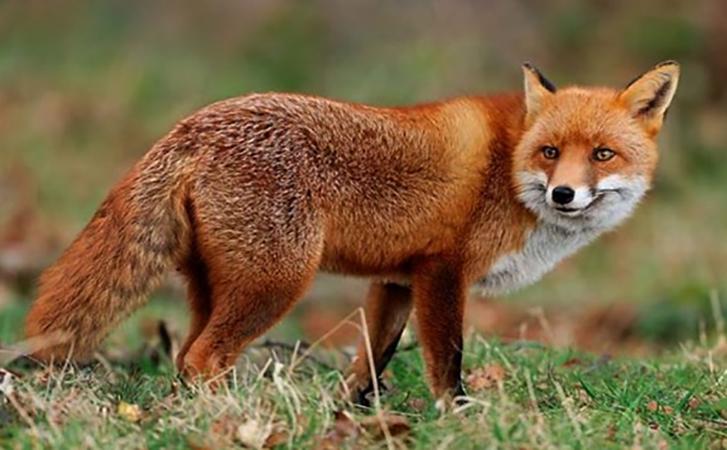 Красивая лиса