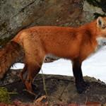Самые интересные факты о лисах