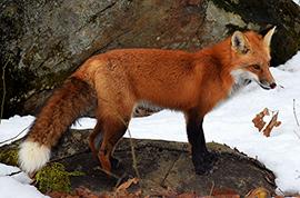 foxava