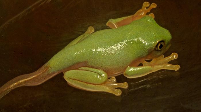 Хвост у лягушки