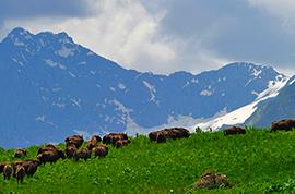 kavkazava