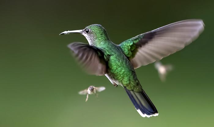 Колибри летит