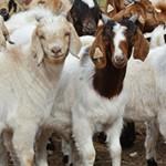 Самые интересные факты про коз