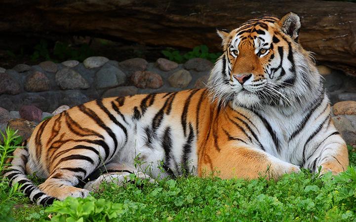 Красивый амурский тигр