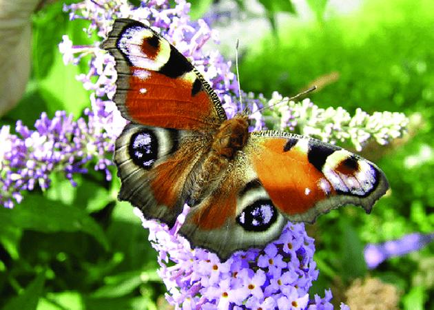 Красивая бабочка Павлиний гла