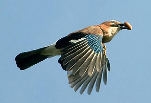 Летящая сойка