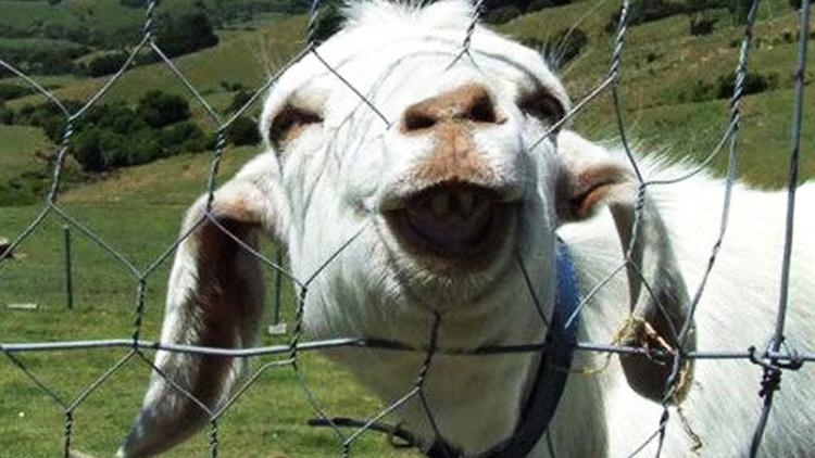 Любопытная коза