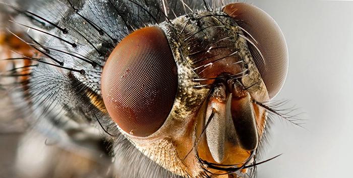 Зрение мухи