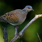 Обыкновенная горлица — интересные факты о птице