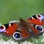 Интересные факты о бабочке Павлиний глаз