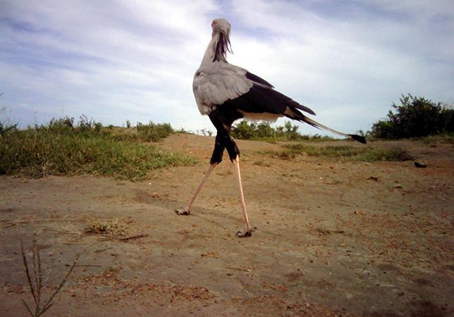 Птица–секретарь