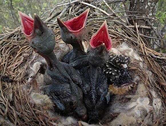 Птенцы кукушки