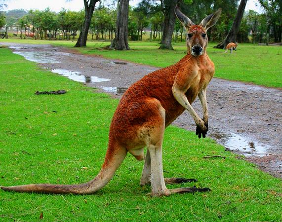 Рыжий кенгуру