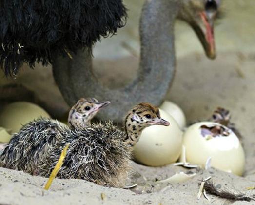 Рождение страусят