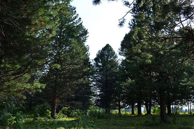 Кедровая роща, расположенная в Заякино