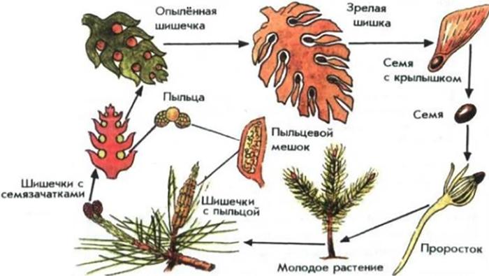 Размножение голосеменных
