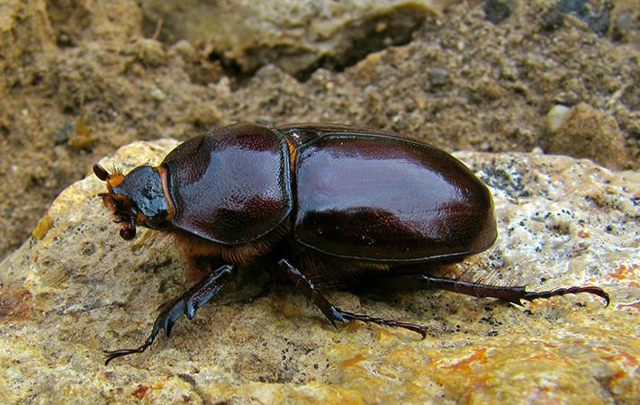 Самка жука-носорога