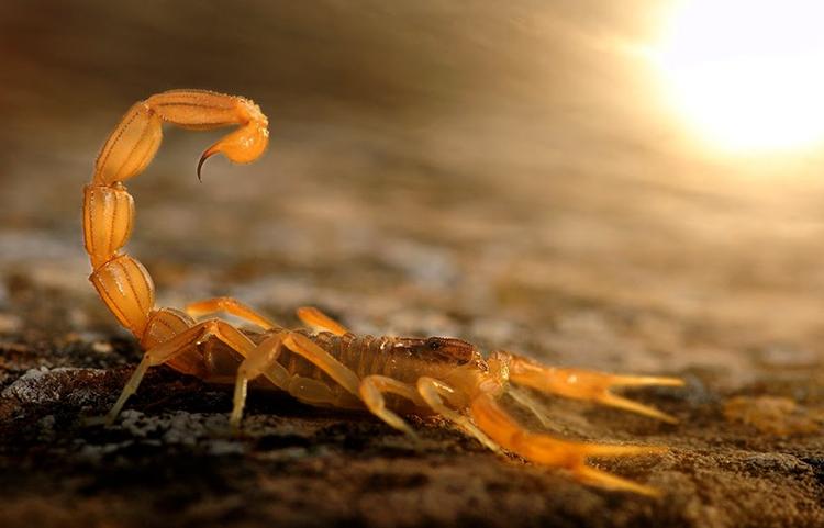 Скорпион перед атакой