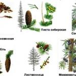 Самые интересные факты о голосеменных растениях