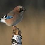 Сойка — интересные факты о птице
